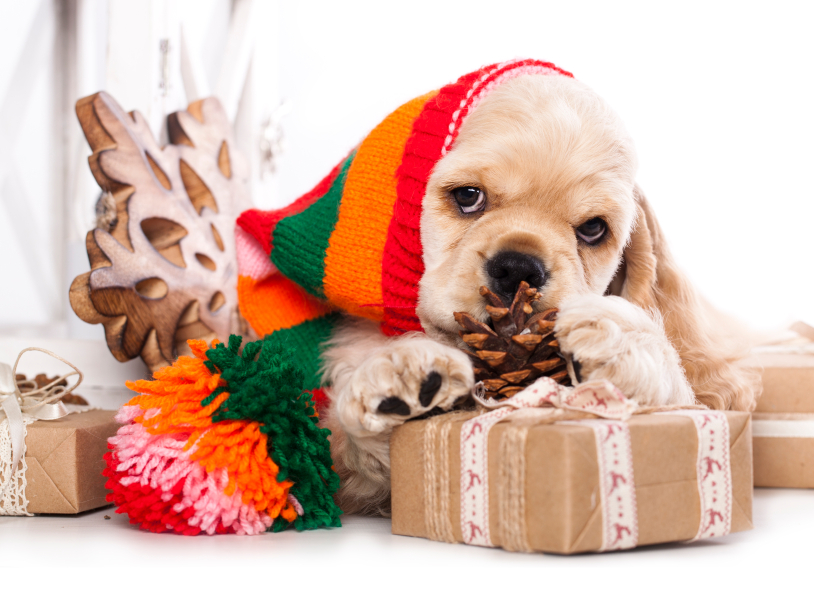 puppy Cocker and gift box iStock_000053040046_Small