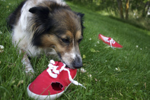 dog chewing a shoe iStock_000001833351_Medium