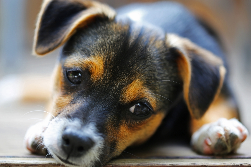 Dog Jack Russell crossed with Mini Fox Terrier puppy iStock_000047857864_Small