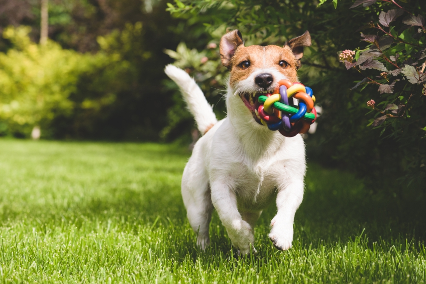 Terrier with ball iStock_000069216437_Small