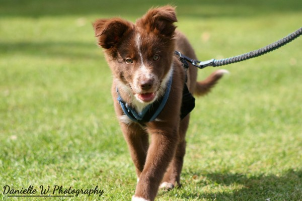 Private Puppy Lessons & Private Dog Lessons Surrey